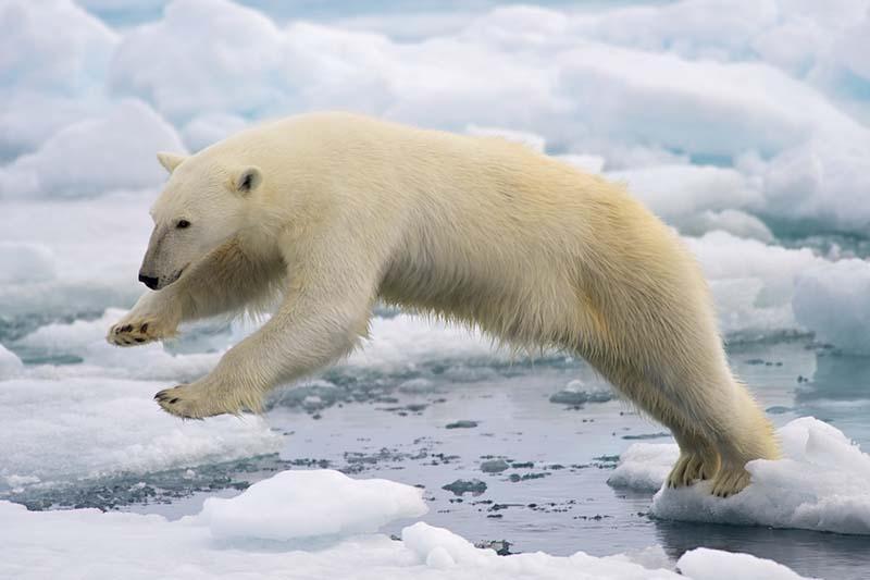 Ours polaire prix en photo au Groenland lors d'une croisière
